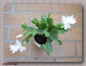 Цветы декабриста